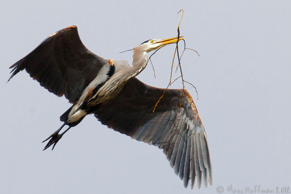 A Great Blue Heron carries nesting material for one of nearly a dozen nests in a new rookery at Marymoor Park, Redmond, Washington, USA.