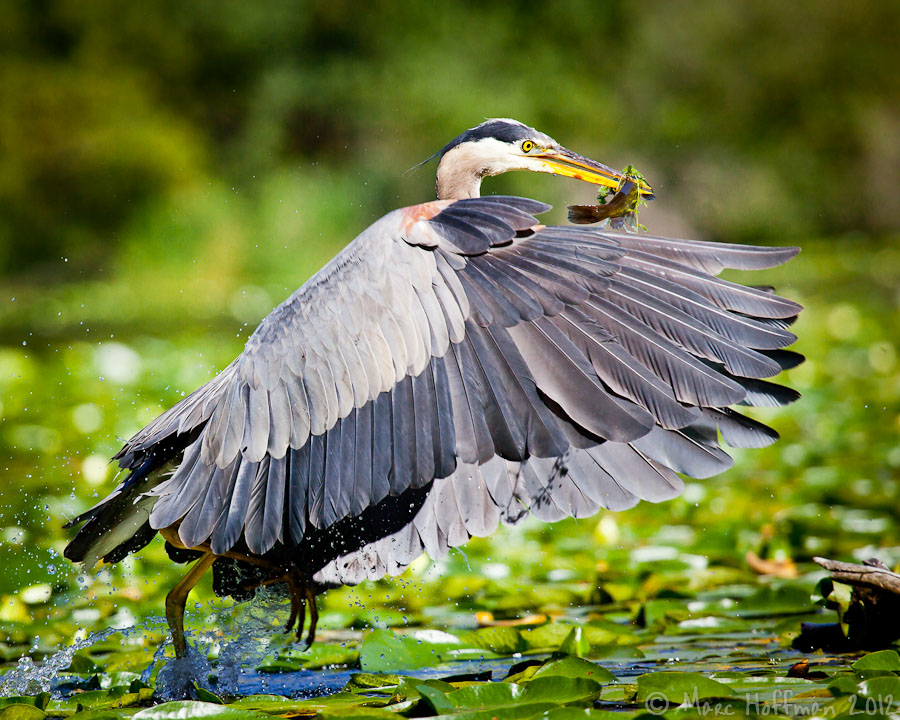 Great Blue Heron flies off after diving for a fish.