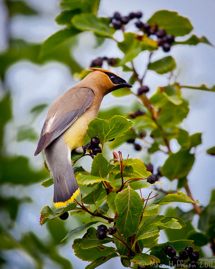 Cedar Waxwing foraging berries at Marymoor Park, Redmond, Washington