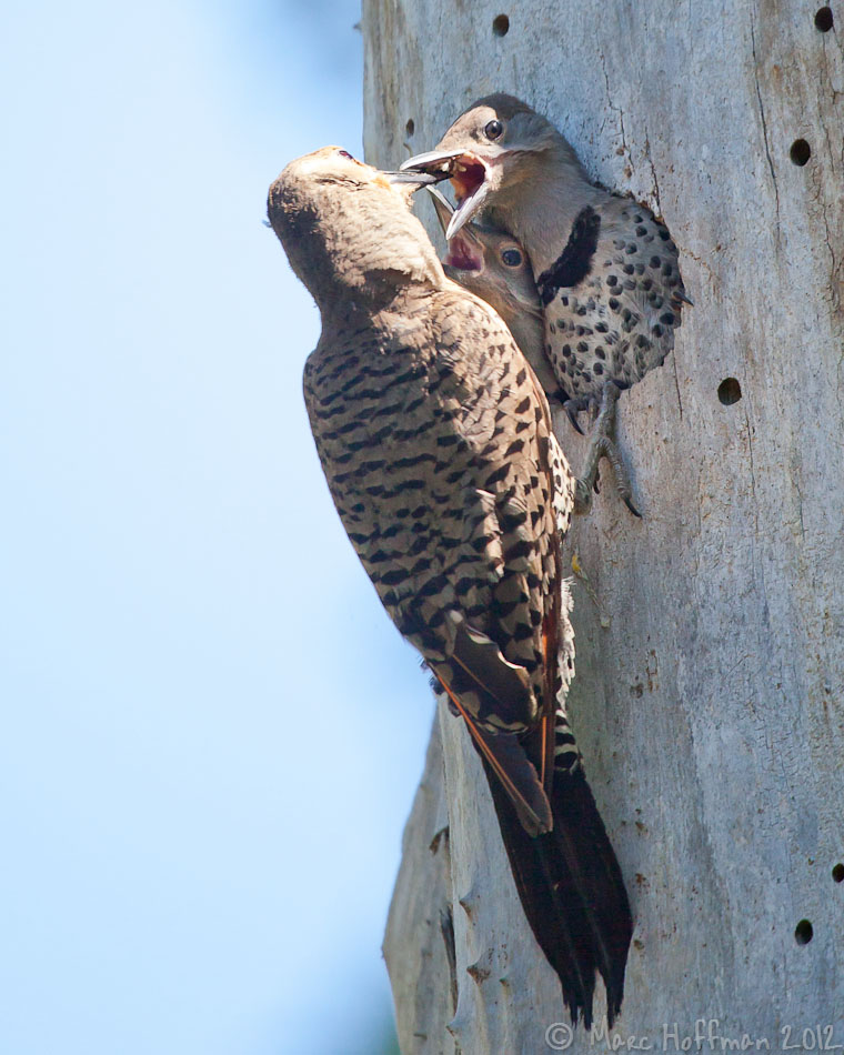 A Northern Shafted Flicker feeds her two youngsters at the Union Bay Natural Area in Seattle.