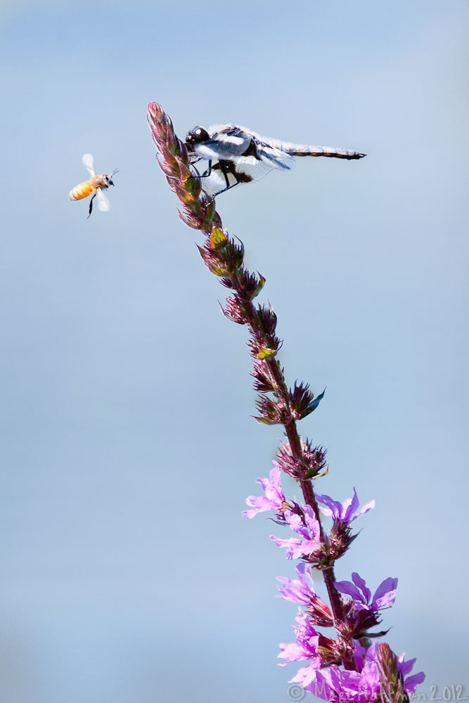 Bee, Dragonfly, and Fireweed. Redmon, Washington.