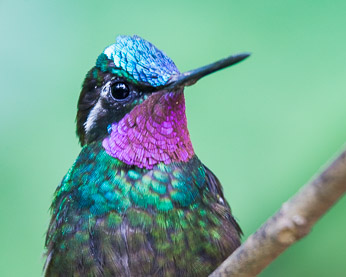 Male Purple-Throated Hummingbird. Click for larger, uncropped version.