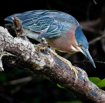 Green Heron, Seattle